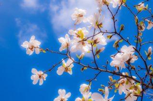 magnolia-pic2