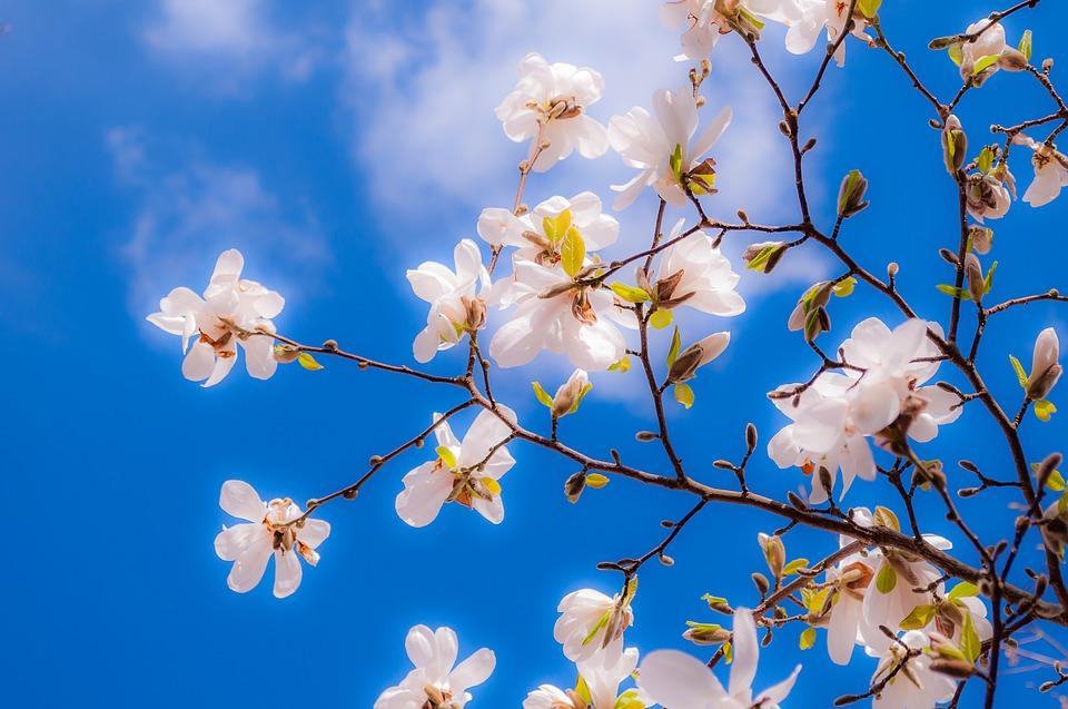 magnolia-2096959_960_720